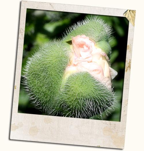 aflæggere fra kaktus